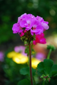 geranium essential oil eczema