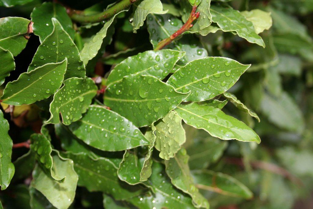 Лосьон для лица из лаврового листа